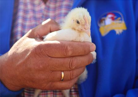 Pan Wieslaw trzyma kurczaka