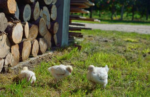 Kury na trawniku